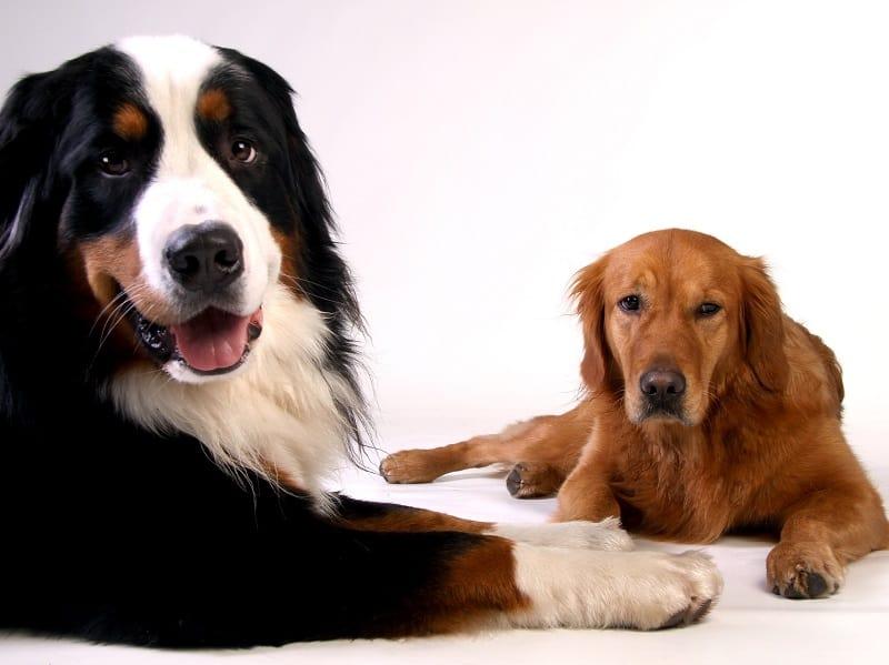bermese mountain dog with friend