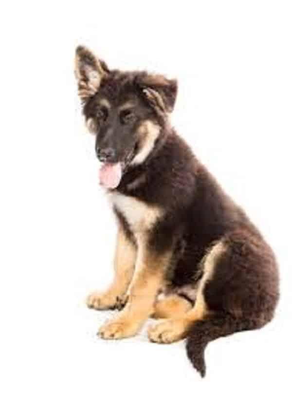 germand shepherd ear care