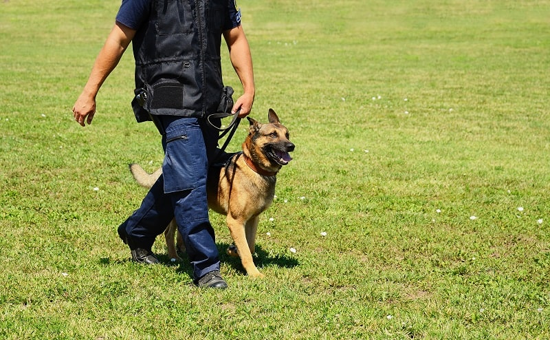 German Shepherds are suitable for active people