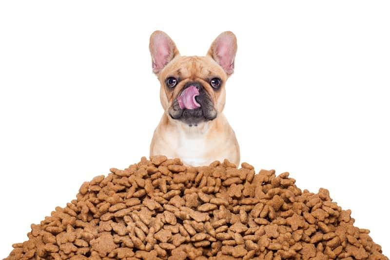 french bulldog is overeating