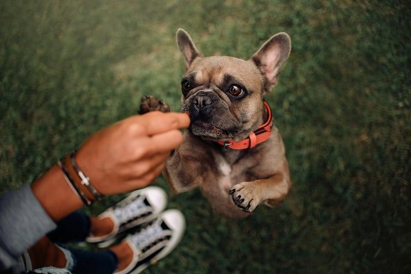 french bulldog training tips