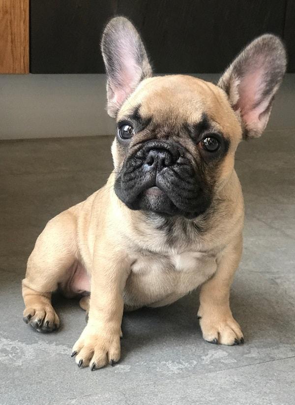 genetic disorders in french bulldogs
