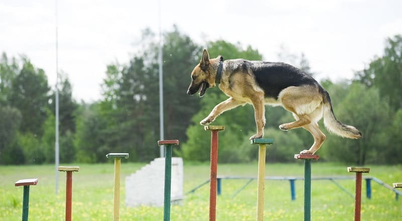 german shepherd agility training