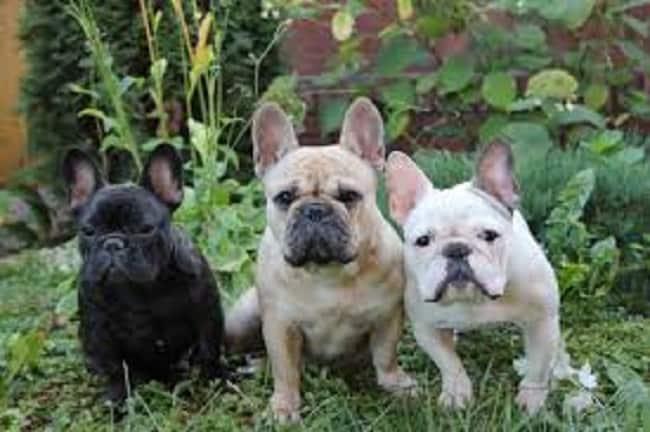 socialize a french bulldog